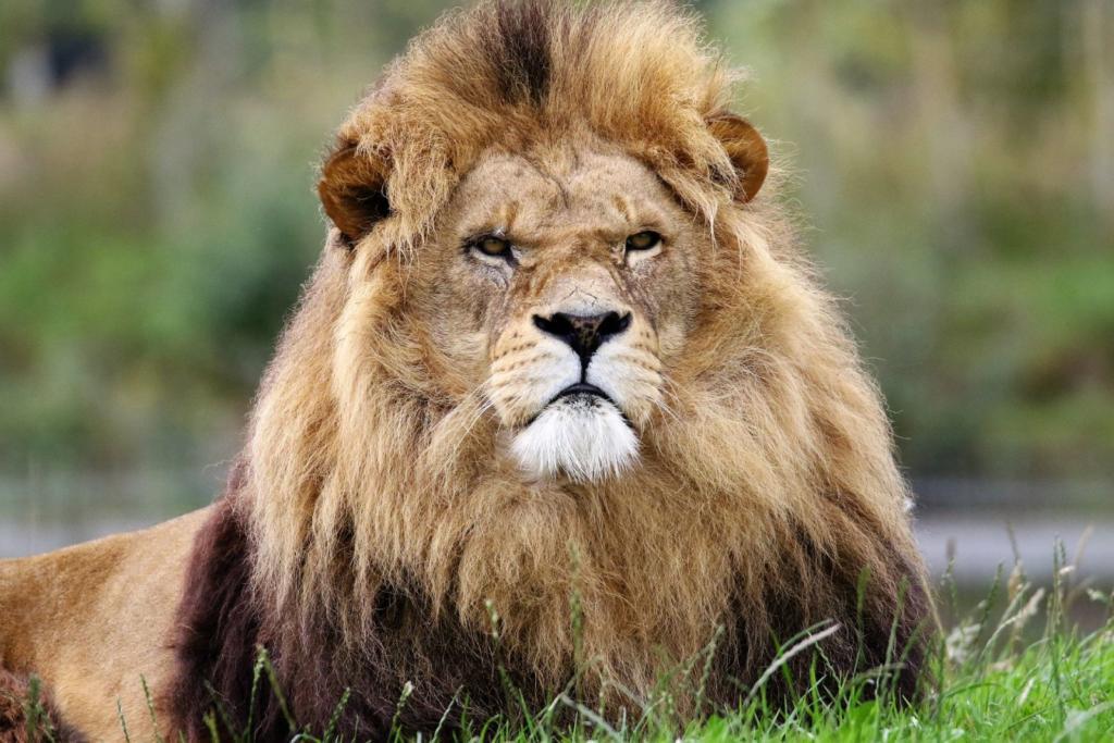 leone seduto